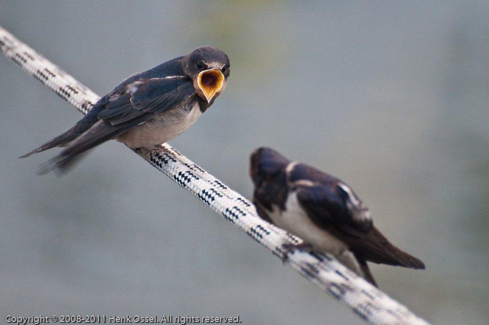 Zwaluwen voedertijd
